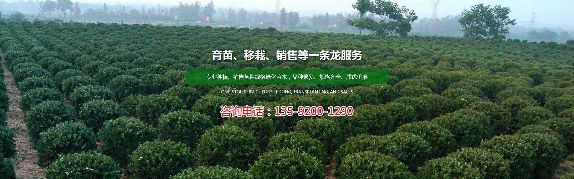 北海道黄杨生产基地-诚德苗木